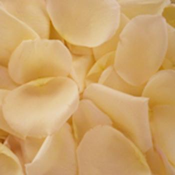 Creamy White Rose Petals