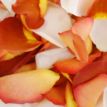 Terracotta Brown Creamsicle Fresh Rose Petals