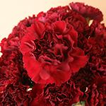 Fresh Burgundy Carnations