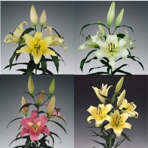 Oriental Trumpet Lilies