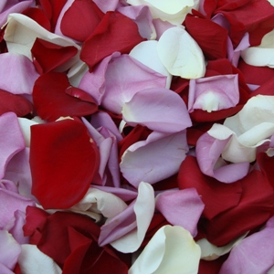 Red, White and Purple Rose Petals