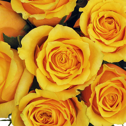 Sweet Nectar Rose