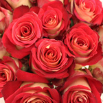 Bicolor Rose Friendship