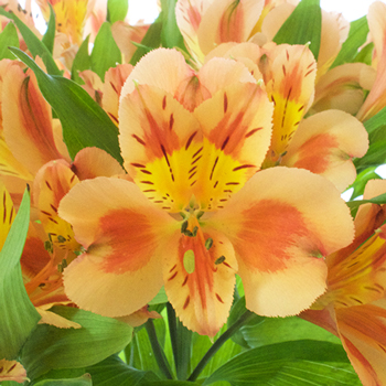 Fruit Punch Alstroemeria Flowers