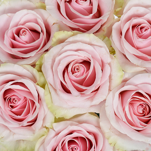 Pink Vintage Twirl Rose