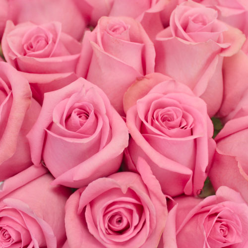 Marry Me Pink Rose