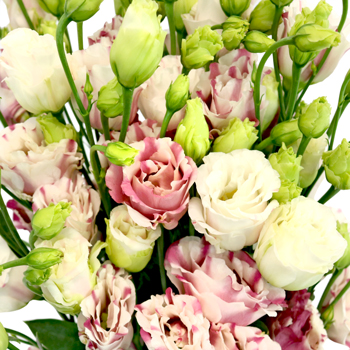 Dusty Rose Splash Mini Lisianthus Flower