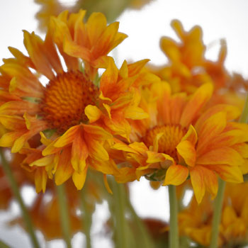 Gaillardia Orange Flower