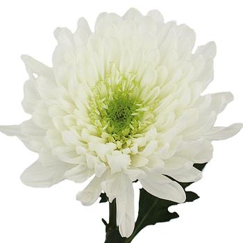 Apple Of My Eye White Flower