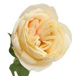 Garden Rose Peach Piaget Peach Flower
