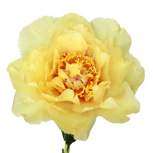 Treasure Yellow Peony Flowers June Delivery