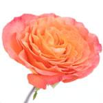 Garden Rose Sunset Bloom ruffled petals