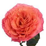 Sunset Garden Rose flower stem