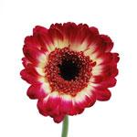 Germini Daisies Dark Pink Flower