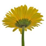 Gerbera Daisy Adventure Yellow Sunset Wholesale Flower Side Stem