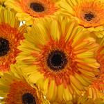 Gerbera Daisy Adventure Yellow Sunset Wholesale Flower Blooms