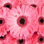 Gerbera Daisy Avenue Pink Wholesale Flower Blooms