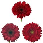 Gerbera Daisy Burgundy Standard Wholesale Flower Blooms