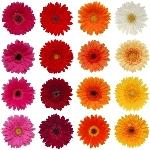 Gerbera Daisy Customize Wholesale Flower Blooms