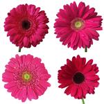 Gerbera Daisy Dark Pink Standard Wholesale Flower Blooms