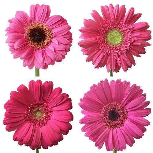 Gerbera Daisy Hot Pink Standard Wholesale Flower Blooms