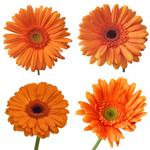 Gerbera Daisy Orange Standard Wholesale Flower Blooms