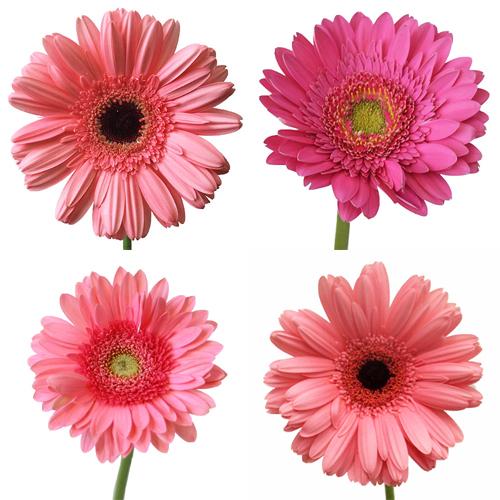 Gerbera Daisy Pink Standard Wholesale Flower Blooms