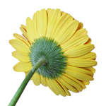 Bulk Yellow Gerber Flower