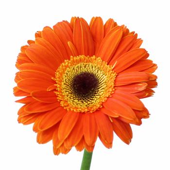 Sherbert Orange Gerbera