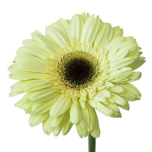 Green Blush Super Gerber Daisy Flower