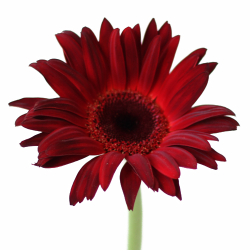 Scarlet Red Gerbera Daisy
