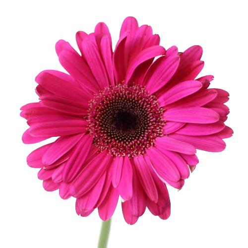 Unique Pink Gerbera Daisy