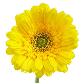 Mini Gerbera Daisies Biscuit Yellow