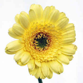 Mini Gerber Daisies Ophir Yellow