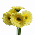 Germini Daisies Yellow Wholesale Flower