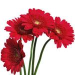 Germini Daisies Bulk Burgundy Flower