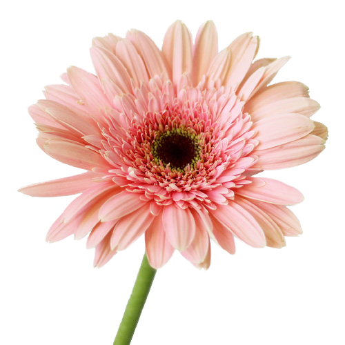 Misty Pink Gerber Daisy Flower