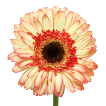 Bicolor Pink and White Gerbera Daisy