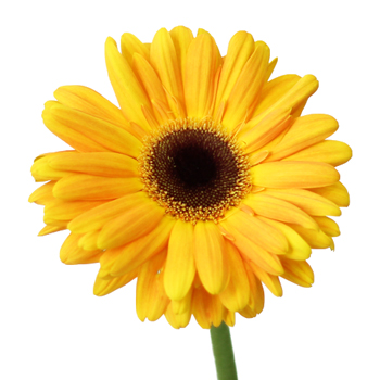 Bright Sunflower Gerbera