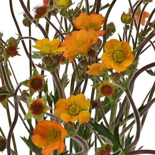 Geum Mango Lassi Flower