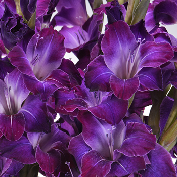 Gladiolus Deep Purple Flower