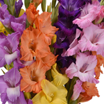 Mixed Color Fresh Gladiolas Flowers