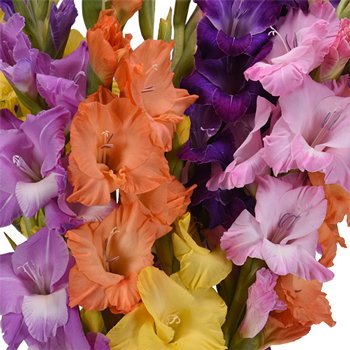 Gladiolus Farm Mix Flower