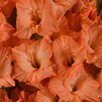 Gladiolus Orange Flower