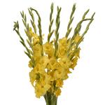 Bulk Yellow Gladiolas Flowers