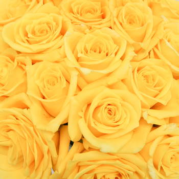 Gold Star Sweetheart Roses