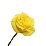 Yellow Rose Golda