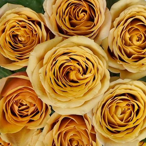 Golden Mustard Garden Rose