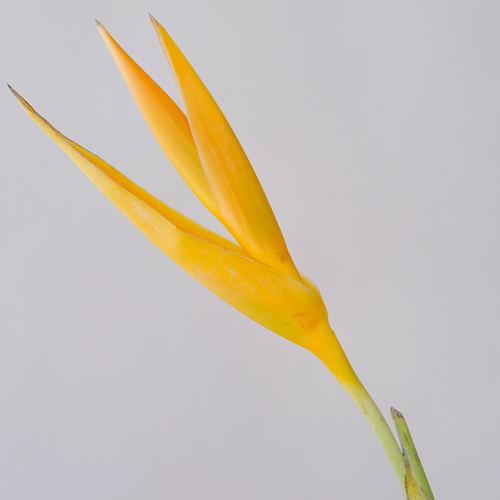 Golden Flame Heliconia