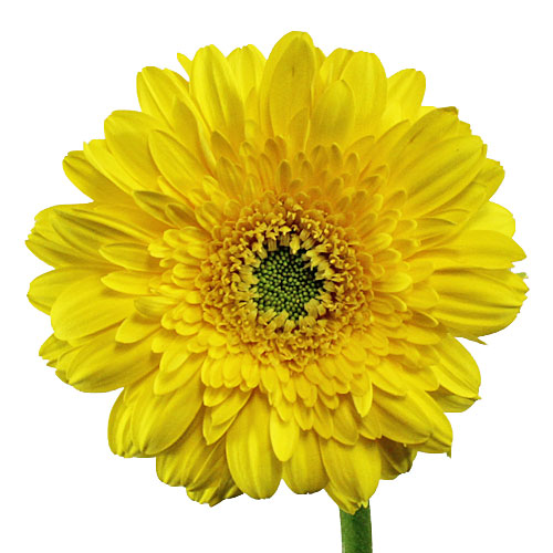 Golden Anniversary Mini Daisies